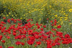 Field of blooming flowers. In contrasting colors, red and yellow Royalty Free Stock Photo