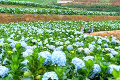 Field blooming hydrangeas on hill beautiful winter morning. Lam Dong, Vietnam - November 28, 2017: Field blooming hydrangeas on hill beautiful winter morning Stock Images