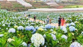 Field blooming hydrangeas on hill beautiful winter morning. Lam Dong, Vietnam - November 28, 2017: Field blooming hydrangeas on hill beautiful winter morning Stock Image