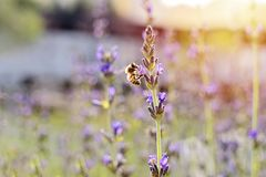 Field of blooming lavender flowers against setting sun and little bee. Closeup view of blooming lavender flowers against setting sun and little bee collecting royalty free stock photo