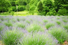Field of blooming lavender. Field of blooming purple lavender in green fields on sunny day royalty free stock image