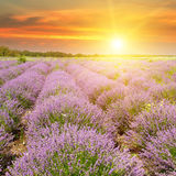 Field with blooming lavender and sunrise. Field with blooming lavender and sun rise stock photography