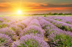 Field with blooming lavender and sunrise. Field with blooming lavender and sun rise royalty free stock photos