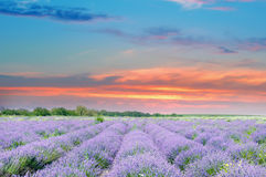 Field with blooming lavender and sunrise. Field with blooming lavender and sun rise stock photos
