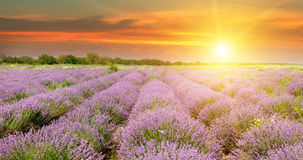 Field with blooming lavender and sunrise. Field with blooming lavender and sun rise royalty free stock photo