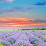 Field with blooming lavender and sunrise. Field with blooming lavender and sun rise royalty free stock photography