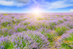 Field with blooming lavender and sunrise. Field with blooming lavender and sun rise royalty free stock image