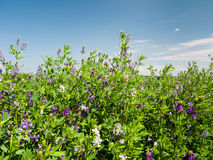 Field of blooming lucerne flowers Royalty Free Stock Image