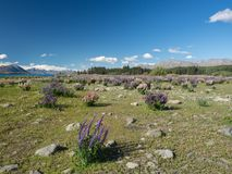 Mountain landscape with flowering lupins at Lake Tekapo in New Zealand royalty free stock photos