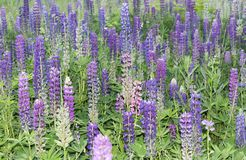 Field of blooming lupines purple and lavender flowers Stock Photos