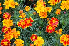 Field of blooming marigold, orange and yellow flowers with green Royalty Free Stock Photography
