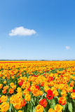 Field with blooming mixed color tulips Stock Photography