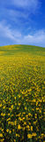 Field of blooming mustard plants Stock Photos