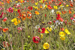 Field with blooming poppies Royalty Free Stock Photography