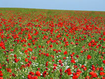 Field of blooming poppies Stock Photos