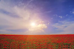 Field with blooming poppies Royalty Free Stock Photo