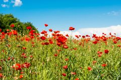 Field with blooming poppies. Landscape scenery Royalty Free Stock Photos
