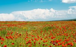 Field with blooming poppies. Landscape scenery Stock Photo