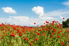 Field with blooming poppies. Landscape sceneryn Stock Photos