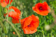 Field with blooming poppies. Red blossoming poppies close up stock photography