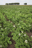 Field with blooming potato. Stock Images