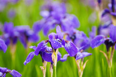 Field of blooming purple irises Royalty Free Stock Images