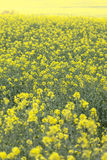 Field of blooming rape, rapeseed yellow flowers, canola . Royalty Free Stock Photos