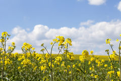 Field of blooming rape, rapeseed yellow flowers, canola . Stock Photos