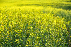 Field of blooming rapeseed Royalty Free Stock Photography