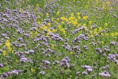 Blooming Rapeseed and Phacelia in the park. stock photos