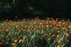 Field of blooming poppy flowers Royalty Free Stock Photo