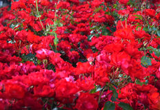 Field of blooming red roses Stock Photos
