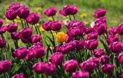 Field of blooming spring tulips in purple and yellow stock images
