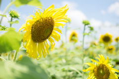 Field with blooming sunflower blossoms royalty free stock photo