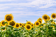 The field of blooming sunflowers Royalty Free Stock Photos