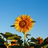 Beautiful flowers of sunflowers stock image