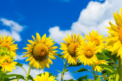 Field of blooming sunflowers on background blue sky and clouds. Field of blooming sunflowers on a background blue sky and clouds stock photos