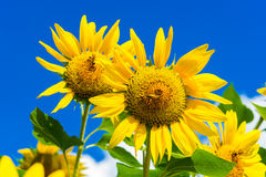 Field of blooming sunflowers on background blue sky and clouds. Field of blooming sunflowers on a background blue sky and clouds stock images