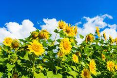 Field of blooming sunflowers on background blue sky and clouds. Field of blooming sunflowers on a background blue sky and clouds royalty free stock photos