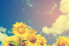 Field of blooming sunflowers on background blue sky and clouds. Field of blooming sunflowers on a background blue sky and clouds.Vintage tone stock image
