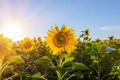 Field of blooming sunflowers on a background of blue sky. Royalty Free Stock Photos
