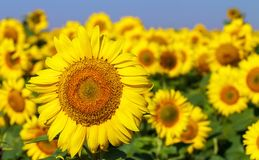 Field of blooming sunflowers on a background blue sky. Royalty Free Stock Images
