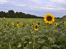 Field of blooming sunflowers in the background of the forest royalty free stock image