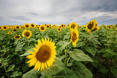 Field of blooming sunflowers Royalty Free Stock Photos