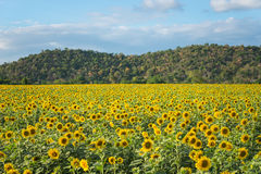 Field of blooming sunflowers on a background mountain. Blurred behind, selective focus, shallow depth of field Royalty Free Stock Photography