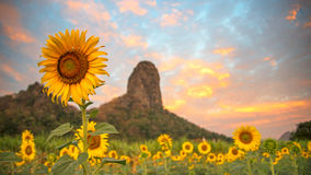 Field of blooming sunflowers on a background the mountain. And sunrise morning Royalty Free Stock Photos