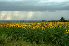 Field of blooming sunflowers. On a background raining weather with clouds stock images