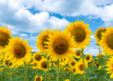 Field of blooming sunflowers on a background sky Royalty Free Stock Images