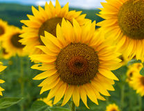Field of blooming sunflowers on a background sky Stock Images