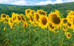 Field of blooming sunflowers on a background sky Stock Photography